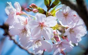 Picture macro, cherry, spring, Sakura, flowering, kidney, flowers