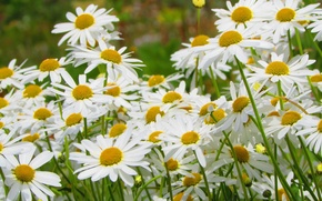 Picture nature, chamomile, petals, garden, meadow, flowerbed