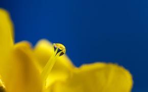 Picture flower, Rosa, drop, pistil
