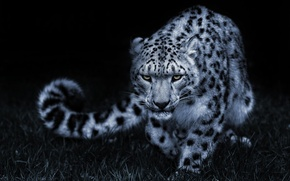Wallpaper pose, cat, look, IRBIS, snow leopard, black and white