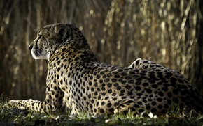 Picture Cheetah, looks, back