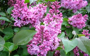 Picture leaves, flowers, flowers, lilac, spring, lilac
