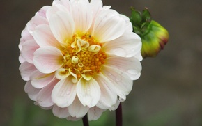 Picture white, flowers, Bud, flower, Dahlia, wite