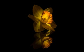 Picture Flower, Yellow, Narcissus