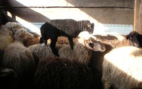 Picture sheep, village, lamb, sheep