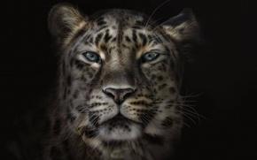 Wallpaper leopard, face, background, black