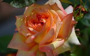 Wallpaper macro, rose, Bud, beauty