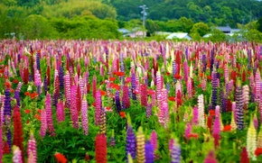 Picture meadow, colorful, bokeh, Lupin
