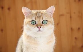 Picture cat, cat, Koshak, alert, Tomcat