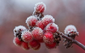 Picture berries, branch, crystals, ice, frost, autumn