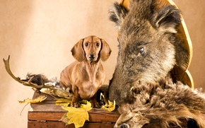 Picture leaves, dog, head, skin, horns, Dachshund, chest, boar, hunter
