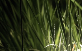 Picture grass, water, drops, nature, Rosa