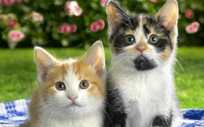 Picture colorful, beautiful, Cats, cute