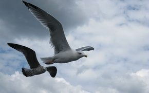 Picture The sky, Seagull, Flight