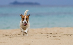 Picture sea, beach, dog, running