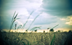 Picture wheat, field, the sky, macro, background, widescreen, Wallpaper, rye, spikelets, wallpaper, ears, widescreen, background, full …