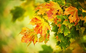 Picture autumn, leaves, macro, yellow