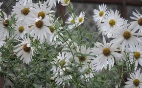 Picture white, flowers, chamomile