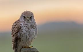 Picture bokeh, looking, hawk