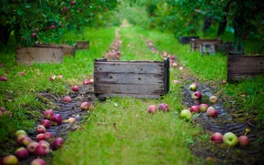 Picture apples, garden, harvest, collection