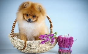 Picture flowers, puppy, Spitz