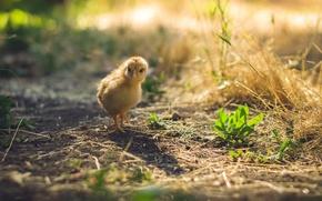 Picture nature, bird, chicken