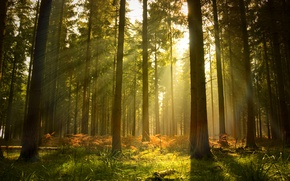 Wallpaper pine, trees, rays, light, forest