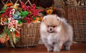 Picture basket, cute, puppy, Spitz
