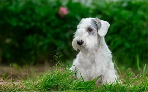 Picture white, grass, puppy, the Sealyham Terrier