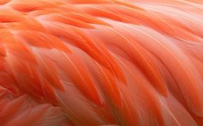 Wallpaper feathers, Flamingo, bird