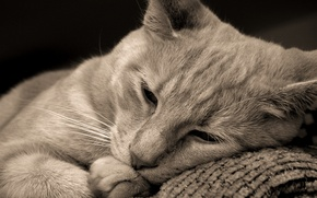Picture cat, cat, lies, cat, brown eyes