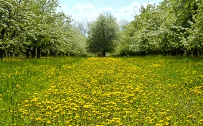 Picture greens, grass, trees, flowers, glade, spring, yellow, garden, dandelions, bloom