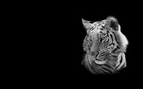 Picture cat, tiger, minimalism, art, black and white, heather lara