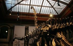 Picture dinosaur, skeleton, Museum