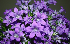 Picture purple, leaves, macro, flowers, lilac, pollen, petals, stamens, bells, bell, buds, leaves, pistils, buds, amethyst, …