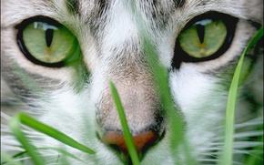 Wallpaper cat, grass, eyes, face, green