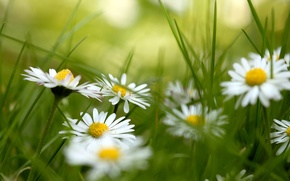 Picture grass, flowers, chamomile