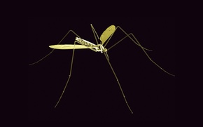 Picture rendering, the mosquito