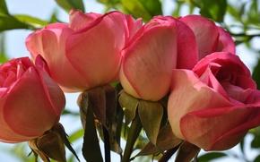 Picture macro, roses, bouquet, petals, Bud