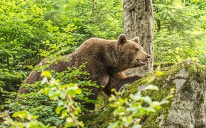 Wallpaper forest, summer, thickets, stone, moss, brown bear