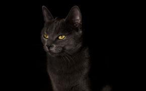 Picture cat, cat, background, widescreen, Wallpaper, wallpaper, black background, black, widescreen, cat, background, full screen, HD …