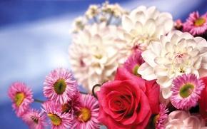 Picture flowers, rose, chrysanthemum