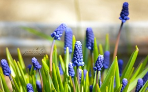 Picture macro, flowers, blue, spring, may, Muscari