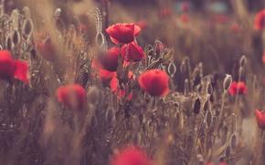 Wallpaper flowers, Maki, field, meadow, sunset