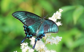 Picture flower, summer, butterfly, sailboat, swallowtail
