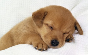Picture puppy, Doggie, fast asleep, tired