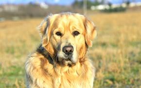 Picture each, fluffy, cute, Labrador, four-legged