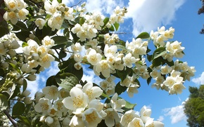 Picture photo, Flowers, The sky, Flowering tree