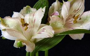 Picture drops, macro, white, macro, drops, Lily, lilies