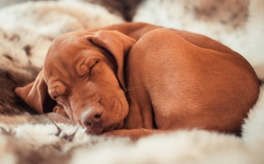 Picture sleep, dog, sleeping, hunting breed dogs, Ennio, v.dora рhotography, Marking the Hungarian, Hungarian pointer